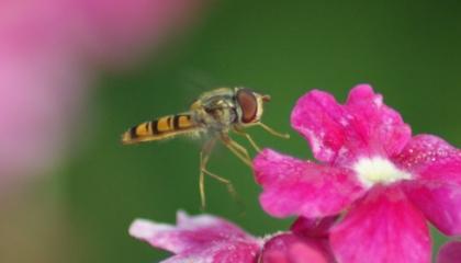 Mouchy jménem pestřenka se alergik bát nemusí. Nemá žihadlo ani kusadla (foto: SXC)