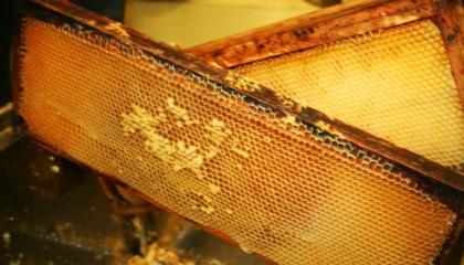 Včelí plástve – rámy potřené propolisem, voskové sklípky jsou plné medu (foto: SXC)