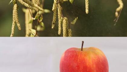 Bílkoviny v pylu břízy se mohou podobat například bílkovinám v jablku