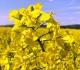 Co kdy kvete a uvolňuje pyly II: květen až červenec
