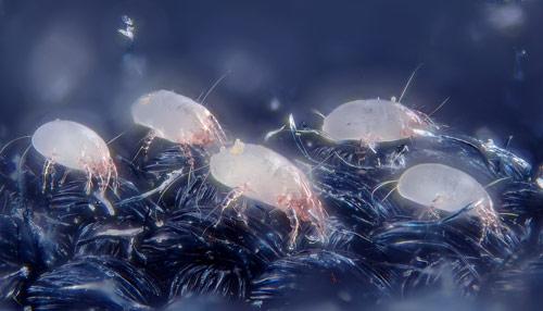Živí roztoči na mikrofotografii